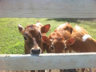 Three Baby Cows