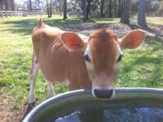 Calf Drinking Water