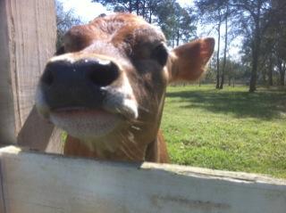 Calf Rubbing Nose